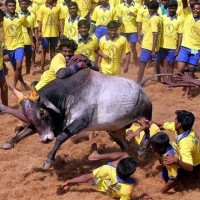 Jallikattu case referred to the Constitutional bench by SC