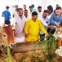 भाजपा नेताओं ने कान्हा गौशाला में गोवंश को खिलाया हरा चारा